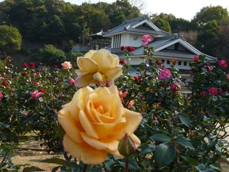 かわら館のバラ 12