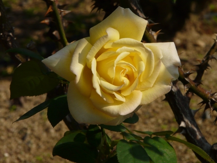 かわら館のバラ 13