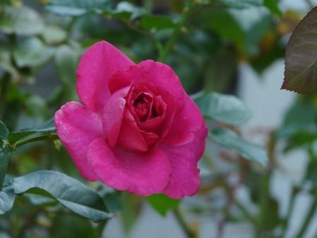 かわら館のバラ 15