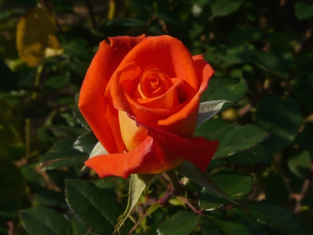 かわら館のバラ 19