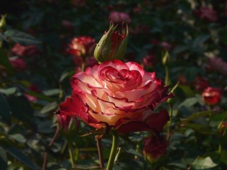 かわら館のバラ 20