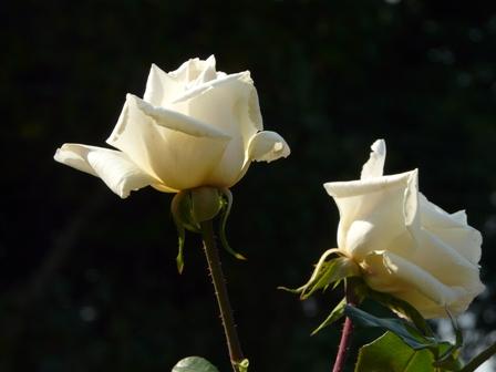 かわら館のバラ 21