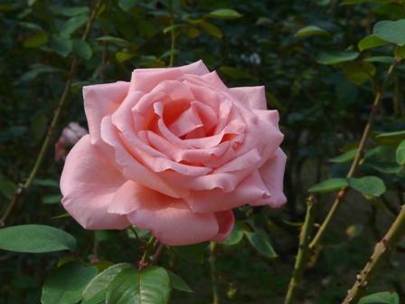 かわら館のバラ 22