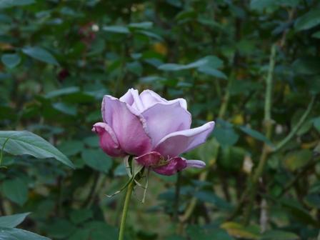 かわら館のバラ 23
