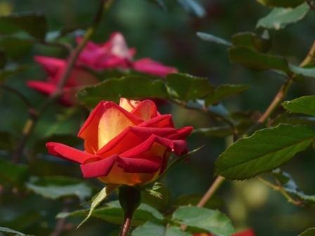 かわら館のバラ 24
