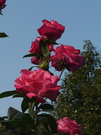 かわら館のバラ 25