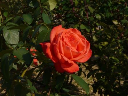 かわら館のバラ 26