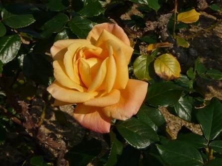 かわら館のバラ 27