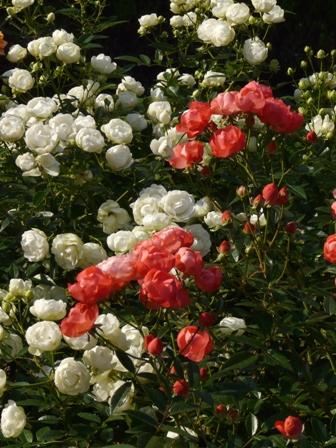 かわら館のバラ 1