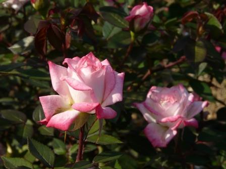 かわら館のバラ 28