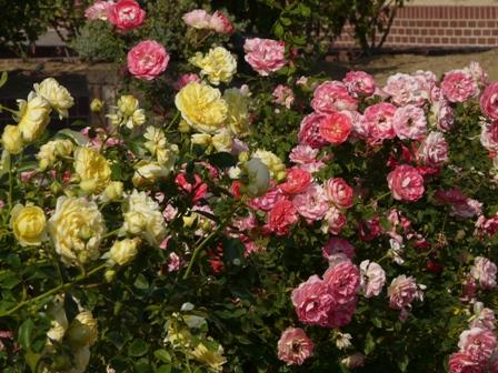 よしうみバラ公園 バラ 1