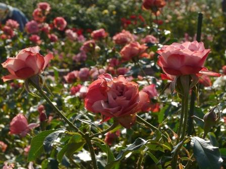 よしうみバラ公園 バラ 4