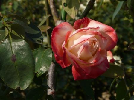 よしうみバラ公園 バラ 11