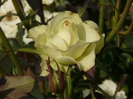 よしうみバラ公園 バラ 12