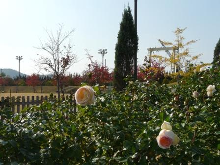 よしうみバラ公園 バラと紅葉 1