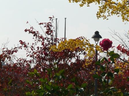 よしうみバラ公園 バラと紅葉 2