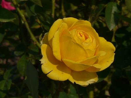よしうみバラ公園 バラ 14