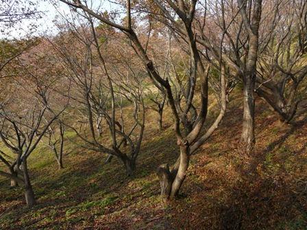 開山公園 葉を落とした桜