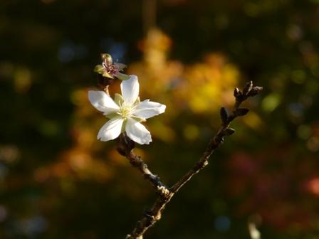 惣河内神社 冬桜 1