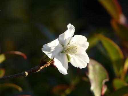 惣河内神社 冬桜 3