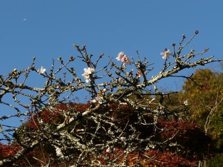 惣河内神社 冬桜 4