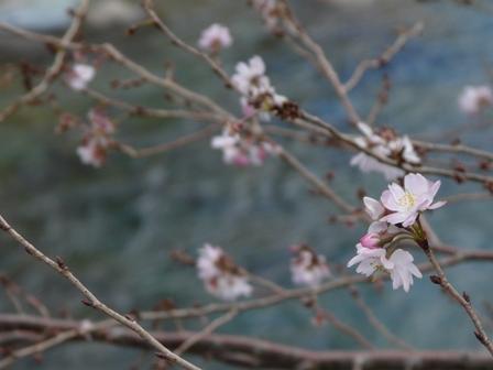 十月桜 3
