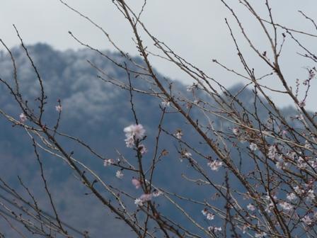 十月桜 6