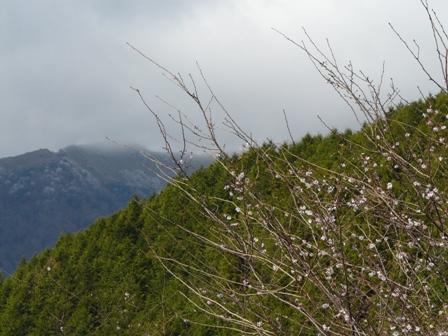 十月桜 5