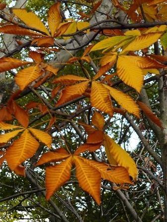 森の交流センター 黄葉 (トチノキ)