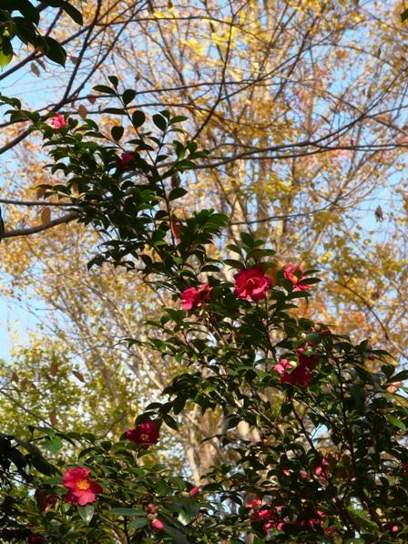 森の交流センター 紅葉・黄葉とサザンカ 2