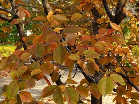森の交流センター 紅葉 (カリン)