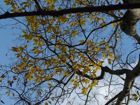 森の交流センター 黄葉 (ムクノキ)