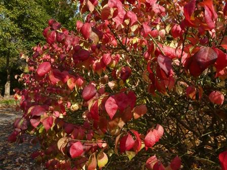 森の交流センター 紅葉 (コマユミ)