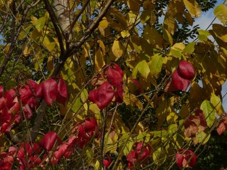 森の交流センター 紅葉&黄葉 (コマユミ&コブシ)