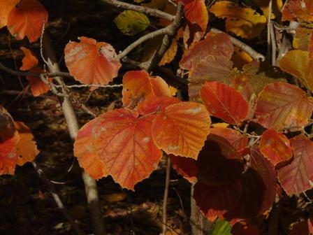 森の交流センター 紅葉 (マンサク)