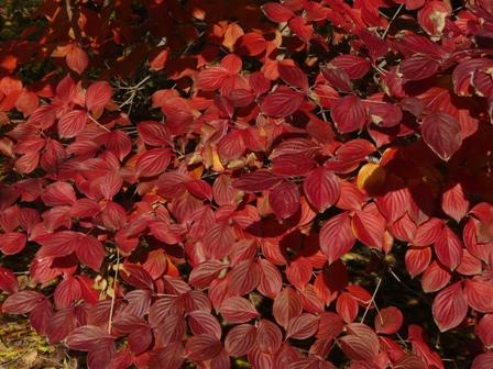 森の交流センター 紅葉 (ヤマボウシ)
