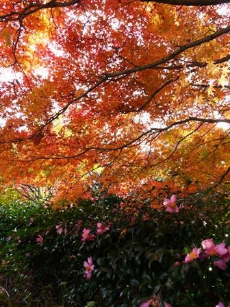 森の交流センター 紅葉・黄葉とサザンカ 1