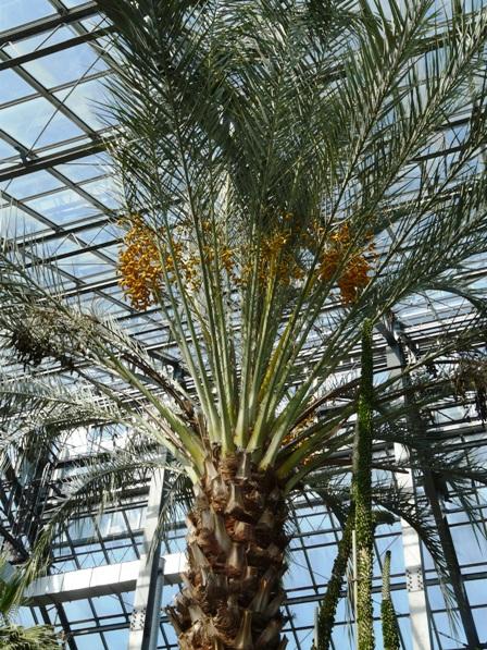筑波実験植物園 ナツメヤシ 3