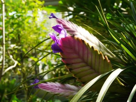 筑波実験植物園 ティランジア・キアネア 1