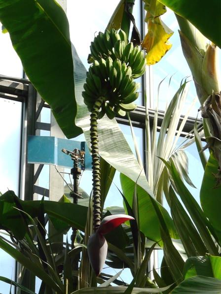 筑波実験植物園 キングバナナ