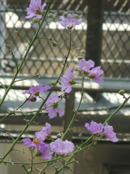 筑波実験植物園 オオバナサルスベリ 1