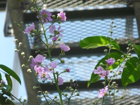 筑波実験植物園 オオバナサルスベリ 2