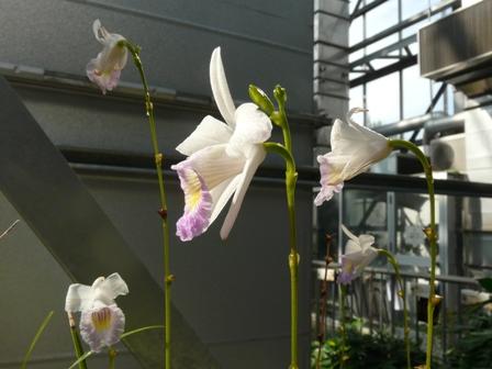 筑波実験植物園 ナリヤラン 1