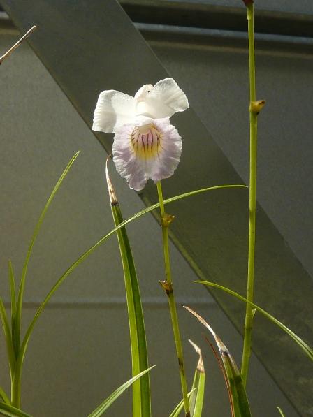 筑波実験植物園 ナリヤラン 2