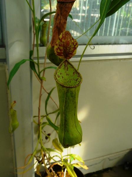 筑波実験植物園 ウツボカズラ・種名不詳 1