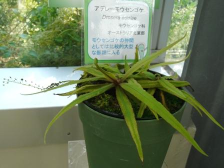 筑波実験植物園 アデレーモウセンゴケ 1
