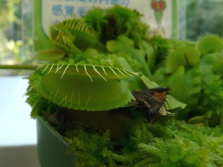 筑波実験植物園 ハエトリソウ 2