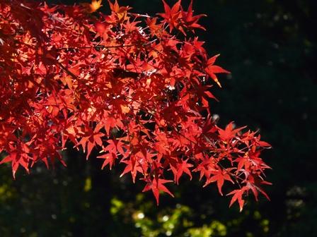 筑波実験植物園 イロハモミジ 1