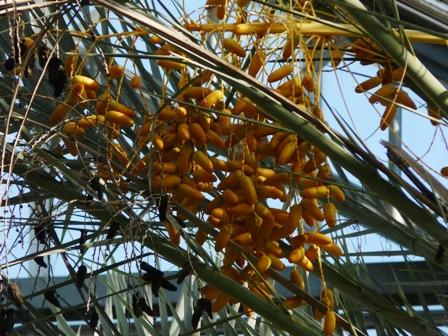 筑波実験植物園 ナツメヤシ