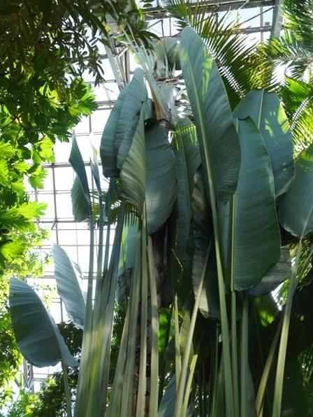 筑波実験植物園 オウギバショウ 1